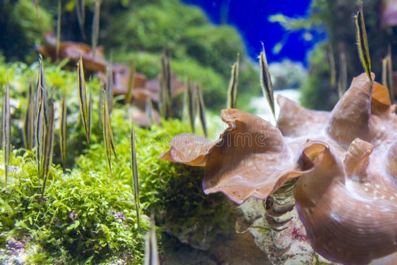 Razorfish fotografie stock