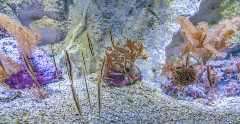 Razorfishes foto de stock