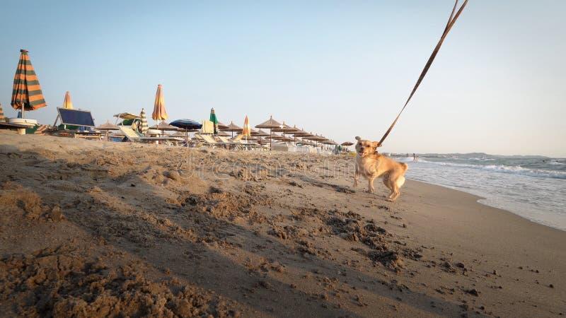 razy Śmieszny Rozochocony szczeniaka pies na koronce, Mieć zabawę na plaży w piaska bieg przy zmierzchem fotografia stock