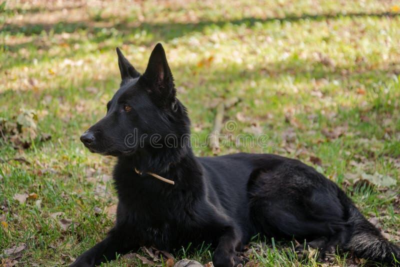 Razza adulta del pastore tedesco del nero del cane immagine stock