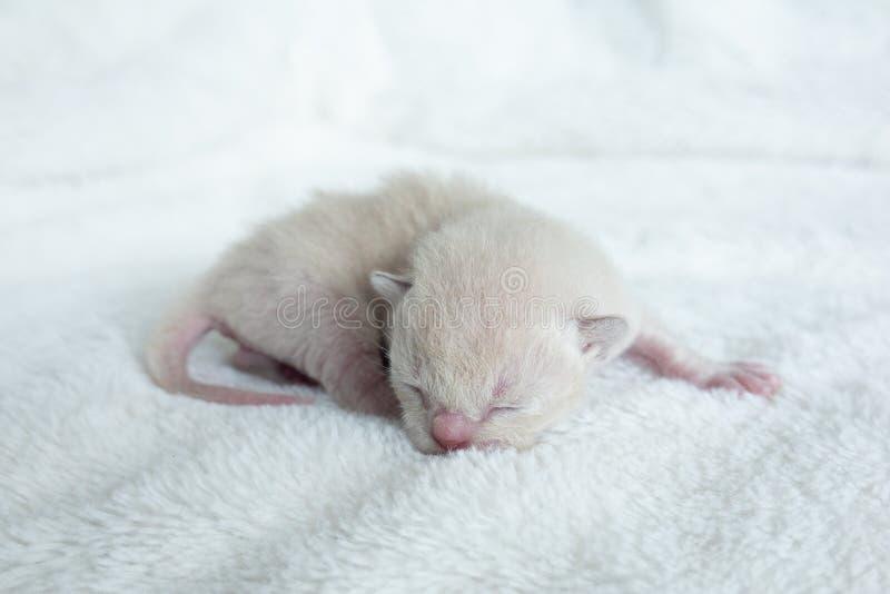 Razza birmana del gattino beige leggero neonato di colore immagini stock libere da diritti