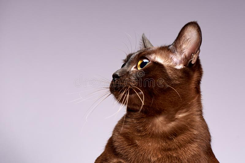Razza Birmania del gatto su un fondo leggero fotografia stock libera da diritti
