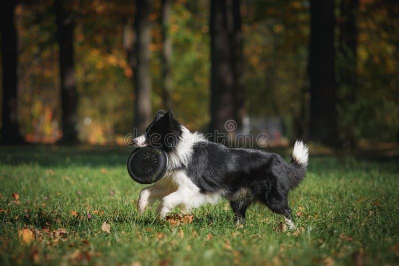 Razza border collie del cane immagini stock