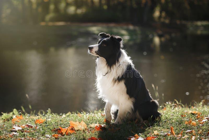 Razza border collie del cane fotografie stock