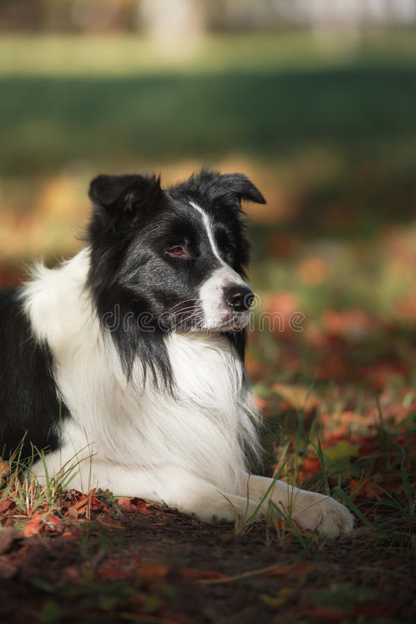 Razza border collie del cane fotografia stock
