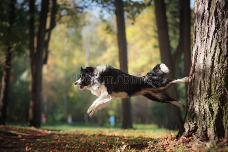 Razza border collie del cane fotografie stock libere da diritti