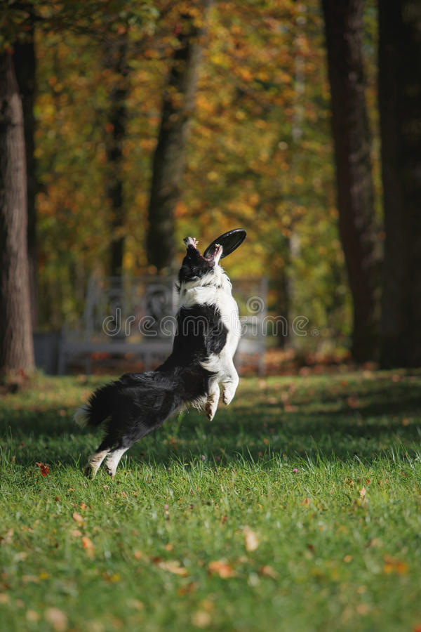 Razza border collie del cane immagini stock libere da diritti