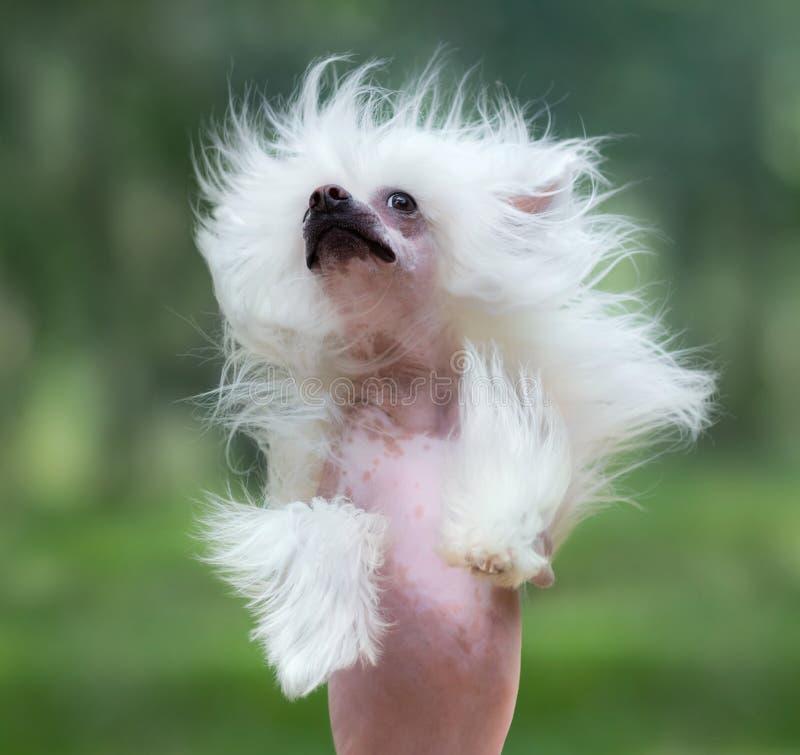 Razza crestata cinese del cane Elevazione del cane immagini stock