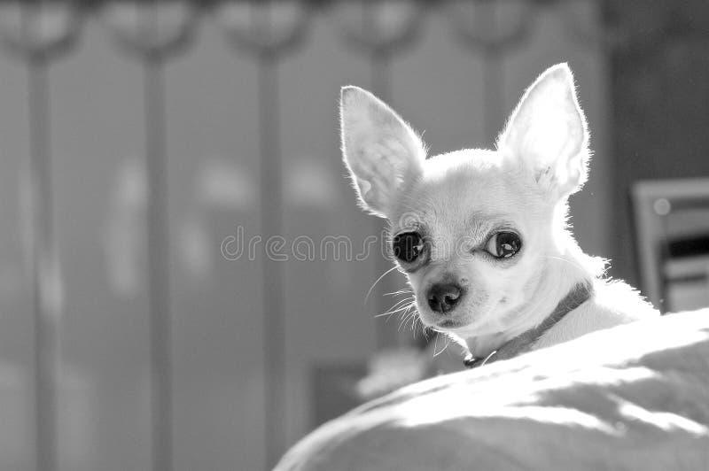 Razza del cane della chihuahua Foto in bianco e nero di Pechino, Cina fotografia stock