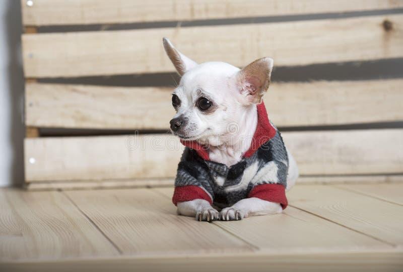 Razza del cane della chihuahua fotografia stock libera da diritti