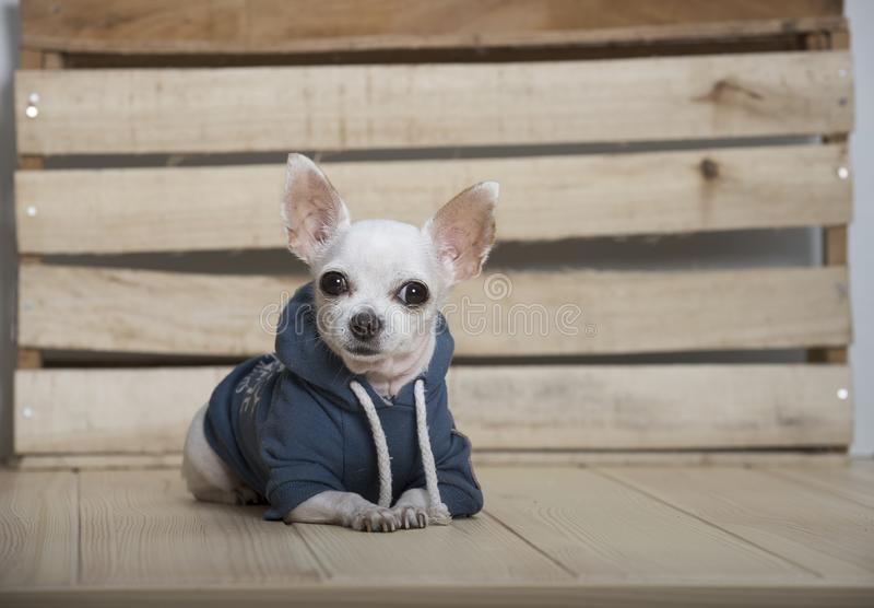 Razza del cane della chihuahua fotografie stock libere da diritti