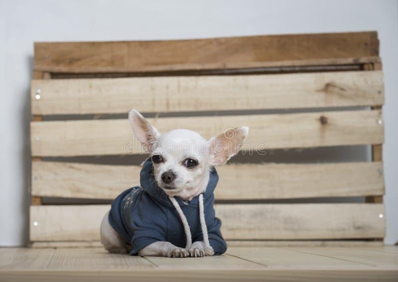 Razza del cane della chihuahua fotografie stock