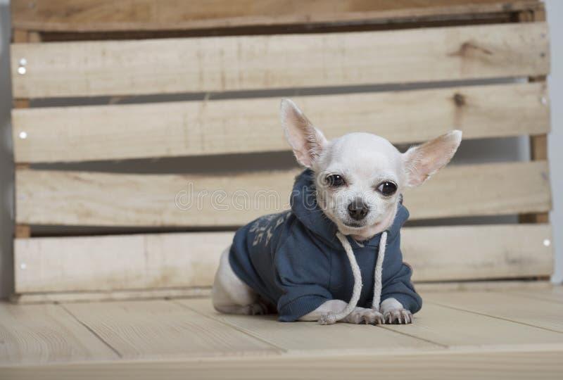 Razza del cane della chihuahua immagini stock libere da diritti