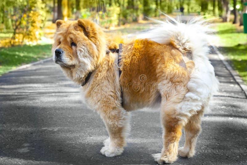 Razza del cane di Chow Chow in parco immagine stock