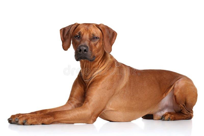 Razza del cane di Rhodesian Ridgeback fotografia stock