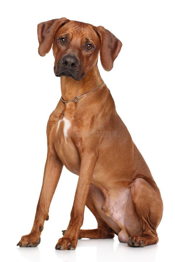 Razza del cane di Rhodesian Ridgeback fotografie stock