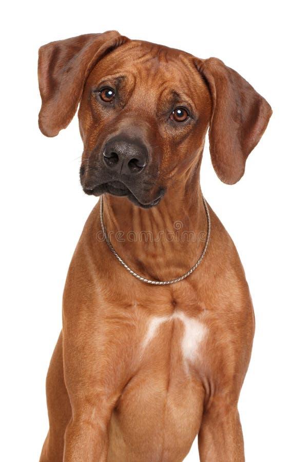 Razza del cane di Rhodesian Ridgeback fotografie stock libere da diritti
