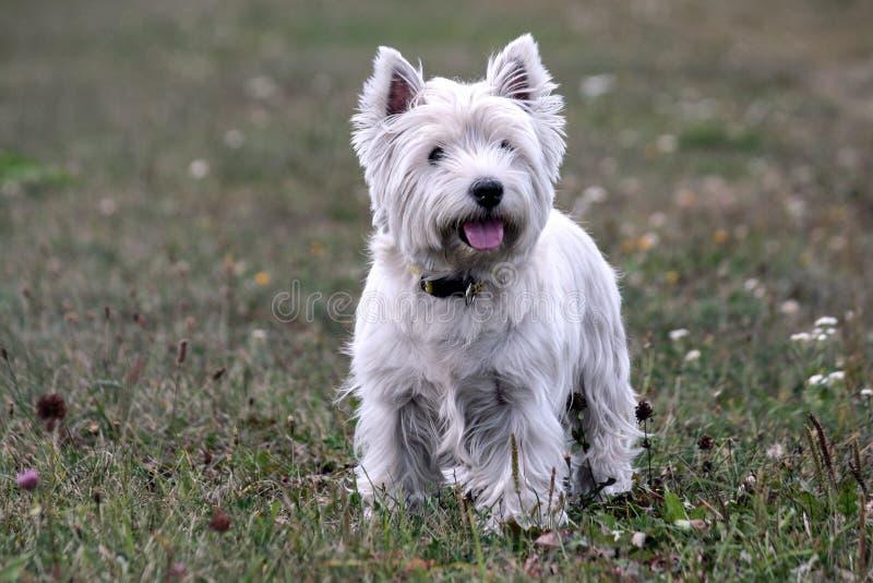 Razza del cane del terrier bianco di altopiano ad ovest, supporto sull'erba verde immagini stock