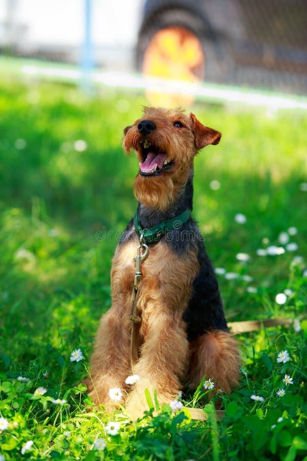 Razza del cane del Welsh terrier immagine stock