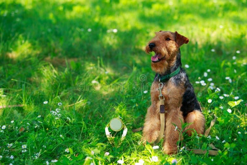 Razza del cane del Welsh terrier fotografie stock