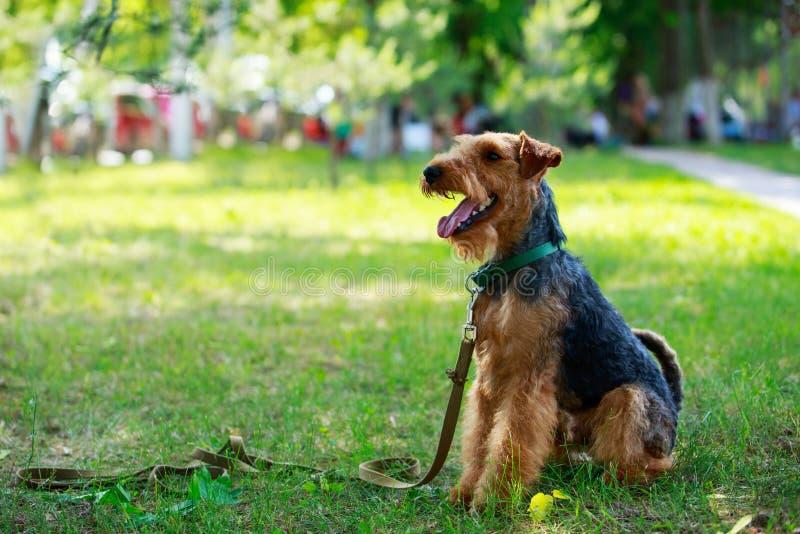 Razza del cane del Welsh terrier fotografia stock libera da diritti