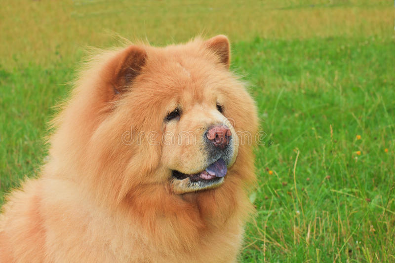 Razza del chow-chow del cane immagine stock libera da diritti