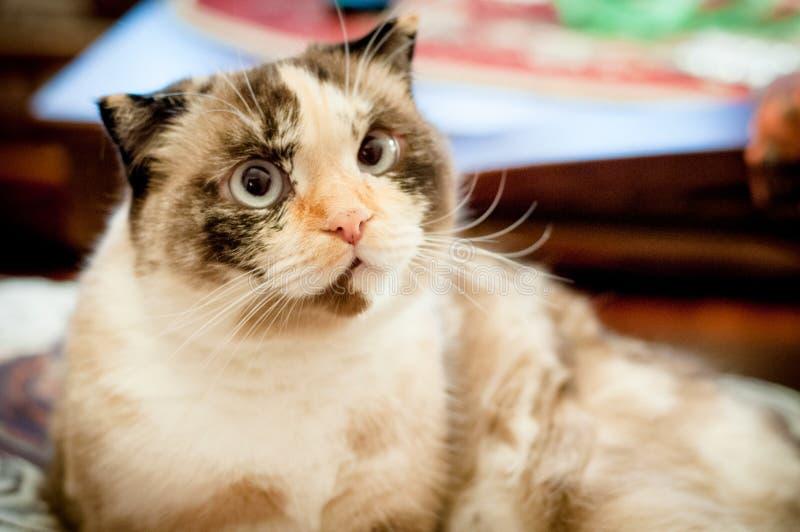 Razza del gatto della fine dalle orecchie pendenti su immagine stock libera da diritti