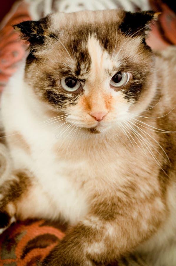 Razza del gatto della fine dalle orecchie pendenti su fotografie stock libere da diritti