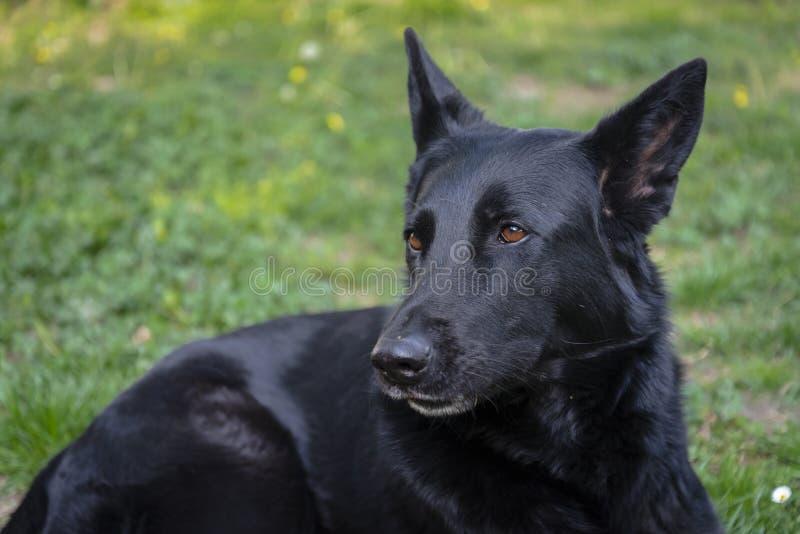 Razza del pastore di tedesco della pelliccia del nero del cane da guardia fotografie stock