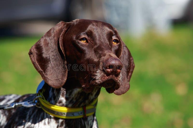 Razza Deutsch Kurzhaar del cane immagine stock