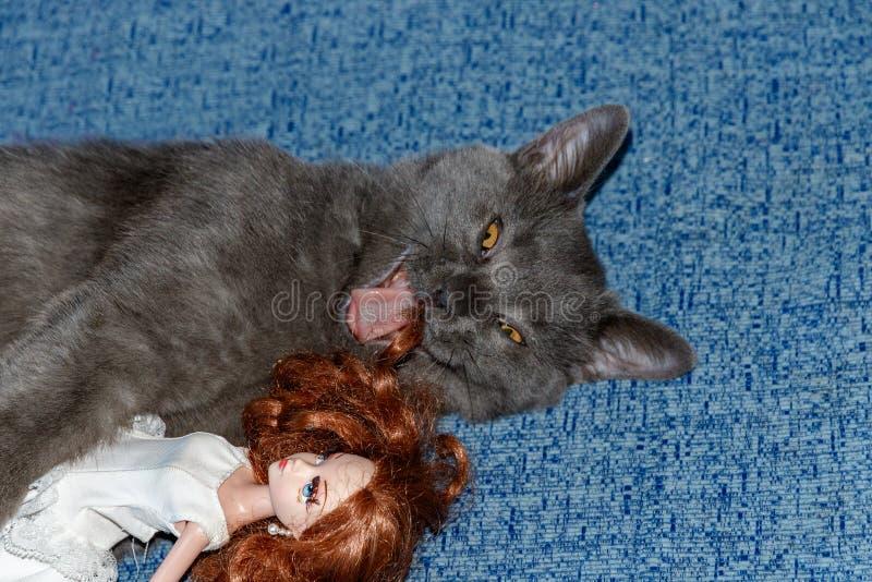 Razza di Kitten British che gioca con una ragazza della bambola su uno strato blu Fronte divertente del gatto fotografie stock