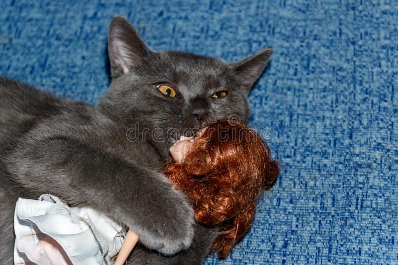 Razza di Kitten British che gioca con una ragazza della bambola su uno strato blu Fronte divertente del gatto fotografia stock