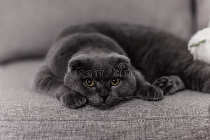 Razza grigia Britanno del gatto Poco gatto di Britanno pets immagine stock