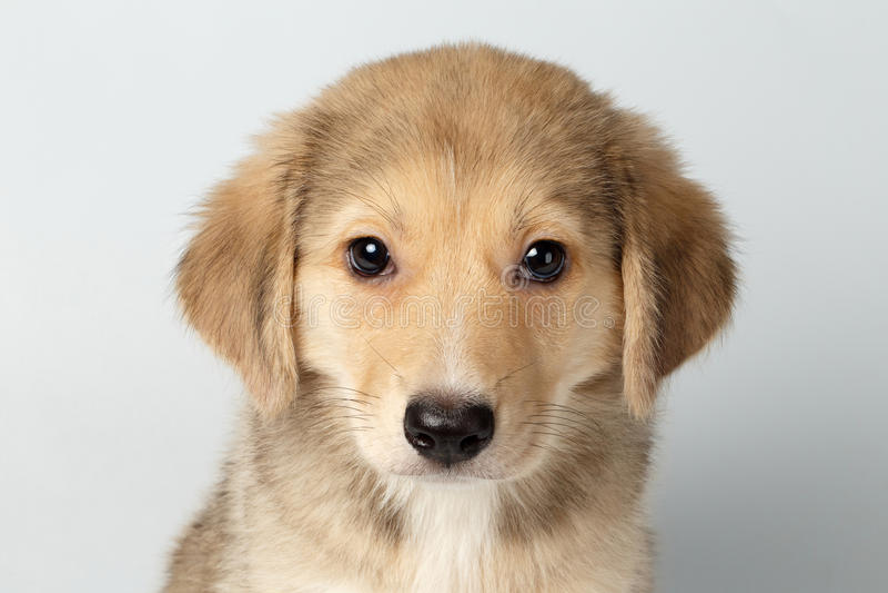 Razza mista Ginger Puppy Pity Looking Isolated del primo piano su bianco fotografia stock libera da diritti