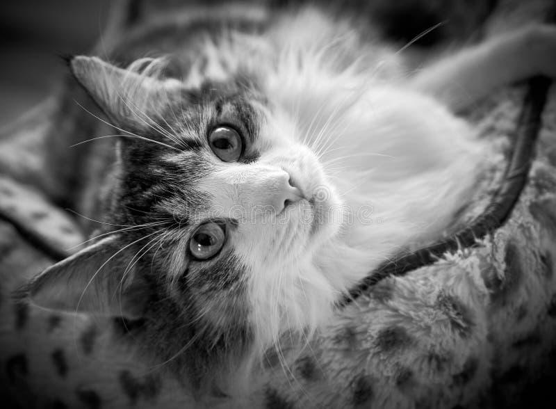 Razza norvegese del gatto della foresta fotografia stock