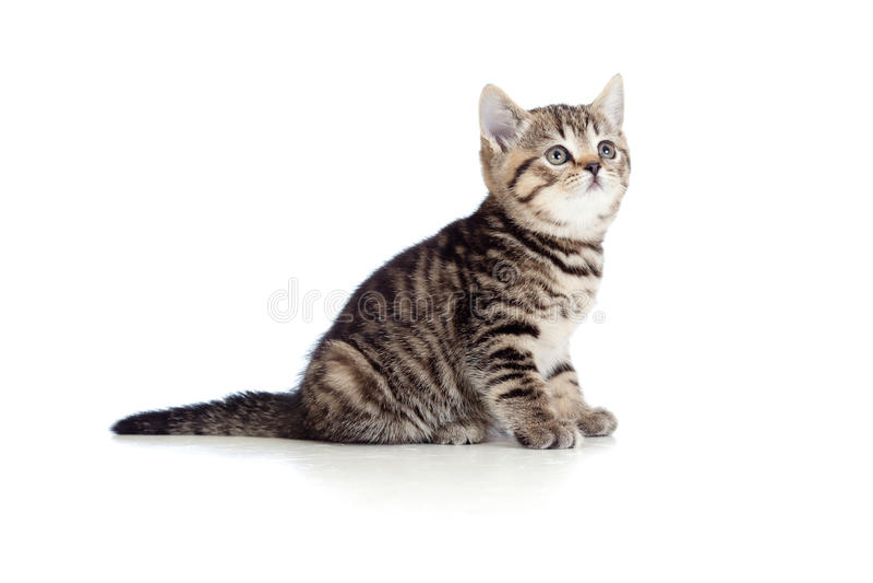 Razza pura britannici a strisce del piccolo gattino isolati fotografie stock