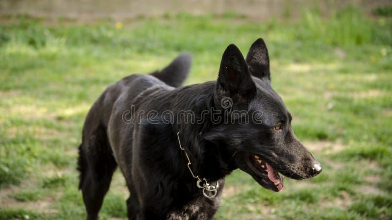 Razza pura femminile nera del cane da guardia del pastore tedesco immagini stock libere da diritti