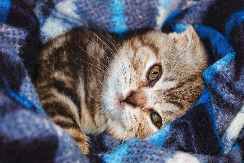 Razza scozzese del popolare del gattino sveglio a strisce che si trova in coperta fotografia stock