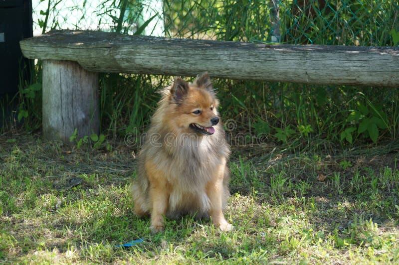 Razze del cane di riposo tedesco dello Spitz fotografia stock