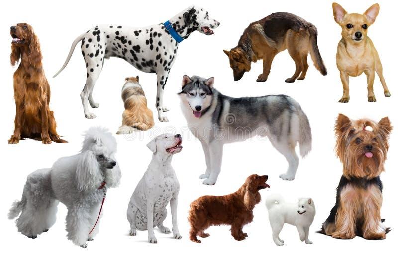 Razze differenti del cane immagini stock libere da diritti