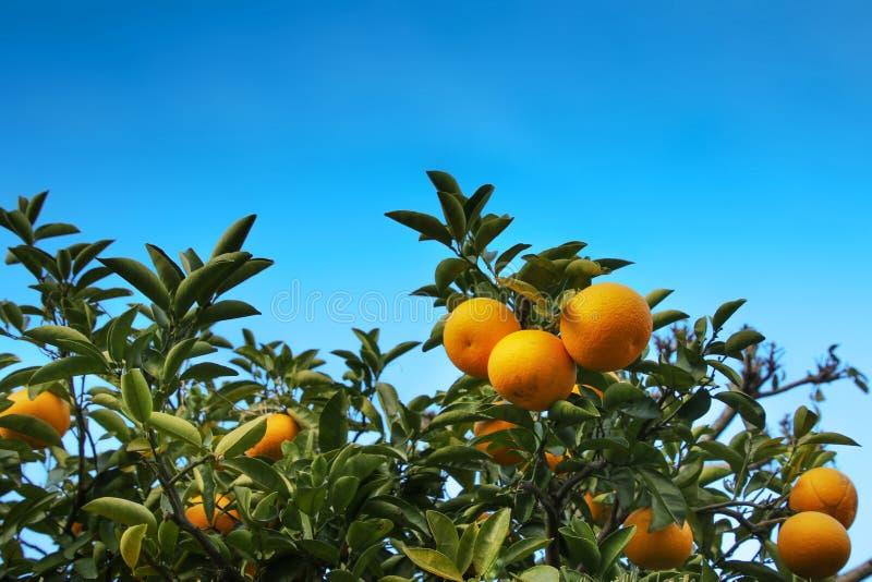 ?rbol anaranjado foto de archivo libre de regalías