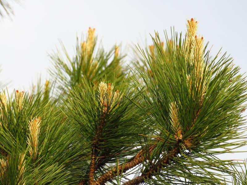 ?rbol con?fero Rama de ?rbol de pino ?rbol de pino y agujas florecientes del pino fotos de archivo