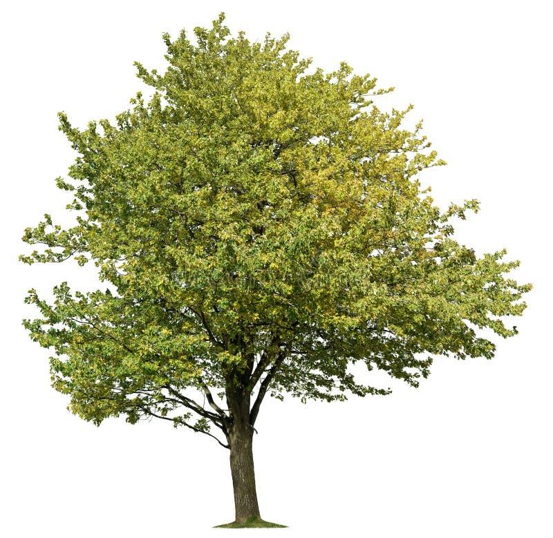?rbol cortado. Árbol verde aislado en verano imagen de archivo libre de regalías