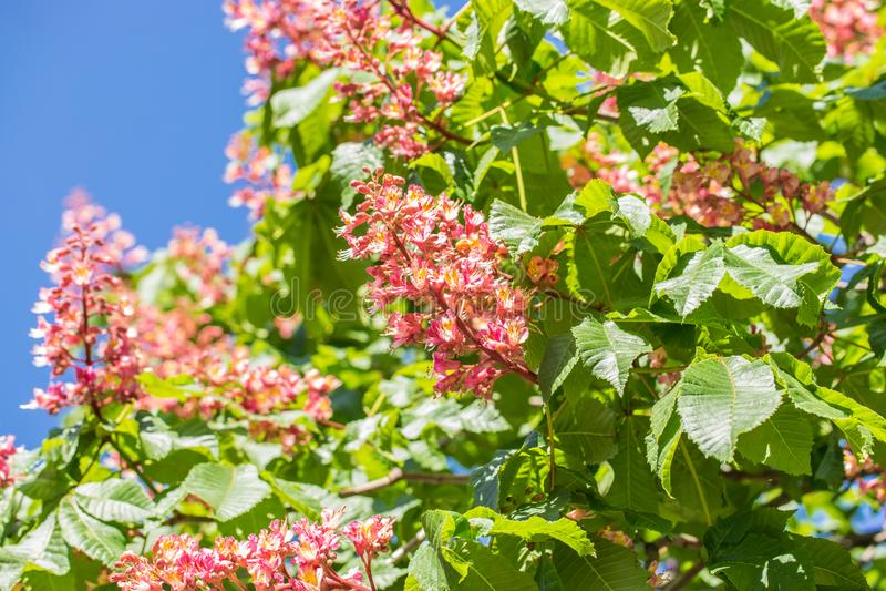 ?rbol de casta?a, flores florecientes de la casta?a en la flor de la primavera, roja o rosada de la casta?a imagenes de archivo