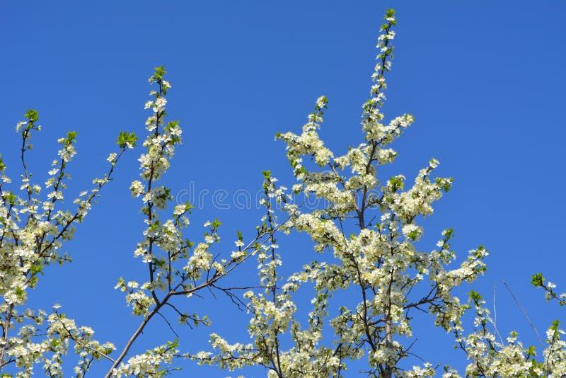 ?rbol de ciruelo en la floraci?n Ramas con muchas flores blancas contra el cielo azul claro foto de archivo