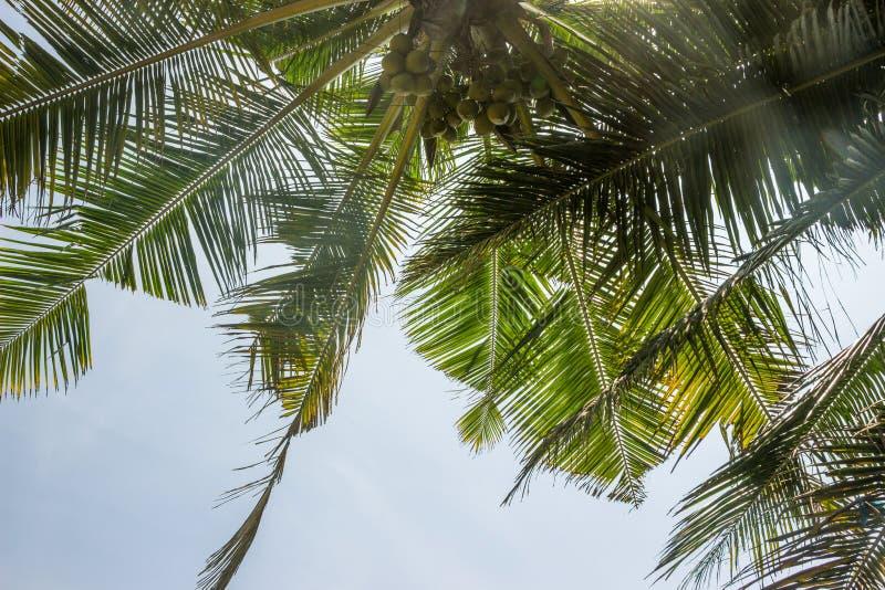 ?rbol de coco en cielo azul fotografía de archivo