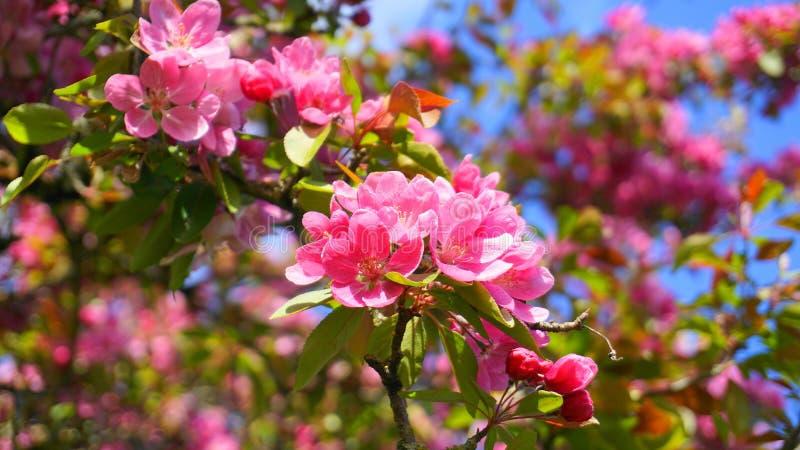 ?rbol de Crabapple de los derechos del Malus con las flores en el cierre del sol de la ma?ana para arriba Flor de Apple foto de archivo libre de regalías