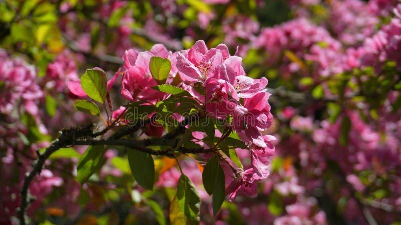 ?rbol de Crabapple de los derechos del Malus con las flores en el cierre del sol de la ma?ana para arriba Flor de Apple fotografía de archivo libre de regalías
