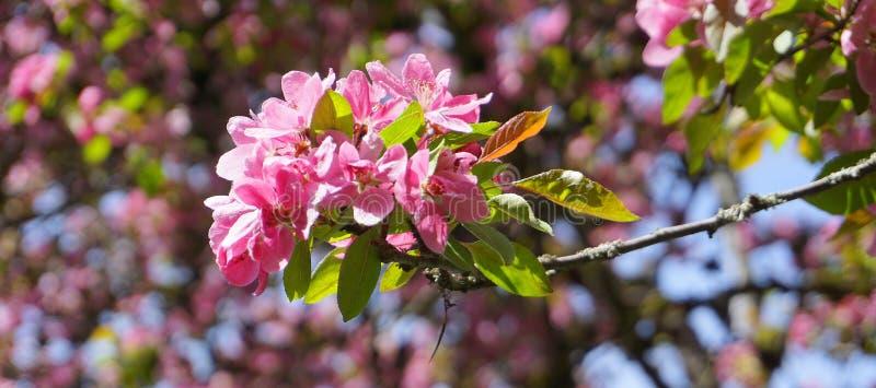 ?rbol de Crabapple de los derechos del Malus con las flores en el cierre del sol de la ma?ana para arriba Flor de Apple fotografía de archivo