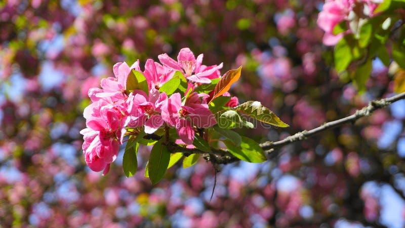 ?rbol de Crabapple de los derechos del Malus con las flores en el cierre del sol de la ma?ana para arriba Flor de Apple fotos de archivo libres de regalías